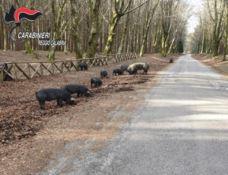 Fa pascolare i maiali nel Parco dell'Aspromonte: denunciato 52enne