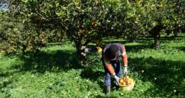 Migrante impegnato nella raccolta delle arance