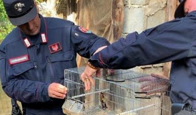 Cardellini e verdoni detenuti illegalmente