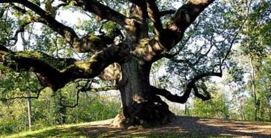 In Aspromonte una quercia di 560 anni