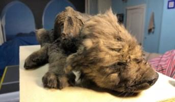 Il cucciolo di cane-lupo trovato in Siberia