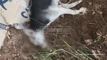 """Cani torturati e in condizioni precarie: l'impegno delle volontarie """"sciolte"""""""