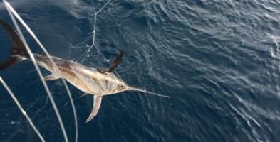 Reggio, sequestrati 31 piccoli di pesce spada catturati illegalmente