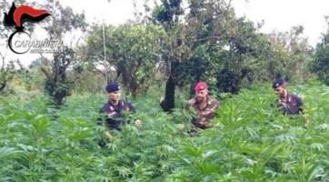 Piantagione di marijuana a Canolo, arrestati padre e figlio