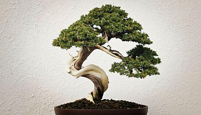 Un bonsai