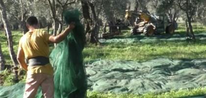 Le signore dell'olio della Piana: la rivoluzione dell'olivicoltura è donna