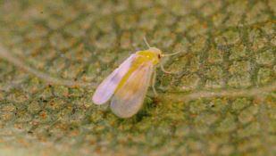 Università di Reggio, individuato un insetto che attacca ficus ornamentali