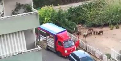 Il furgone dell'ambulante che dà da mangiare ai cinghiali