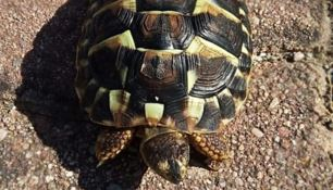 Tartaruga sequestrata a Cirò