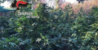 Marijuana nell'orto di casa, arrestata contadina nel Reggino