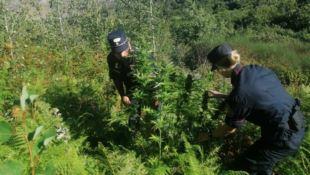 Maxi piantagione di marijuana individuata dai forestali nel Cosentino
