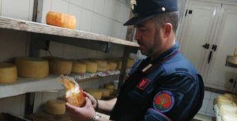 Acri, scoperto caseificio abusivo: sequestrati due quintali di formaggi