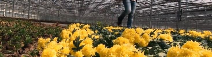 Una delle serre con i fiori destinati al macero