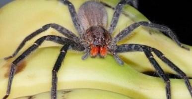 Dal Brasile a Gioia Tauro il ragno che stimola l'erezione, ma può essere letale