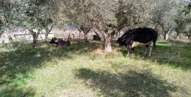 Le vacche sacre di Zungri