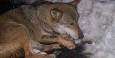 Il lupo ferito sulla Ss 107 - Foto tratta dal profilo Facebook di Mara Carchidi