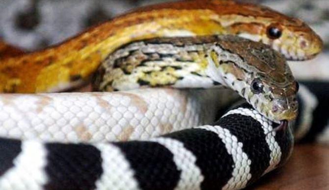 Serpenti, immagine di repertorio