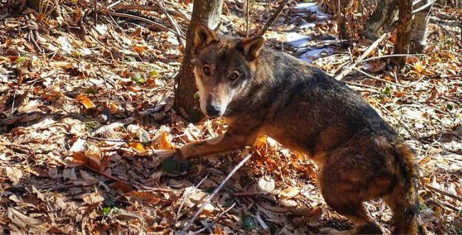 Il lupo Arvo (foto dal post Facebook di Giuseppe Guzzo)