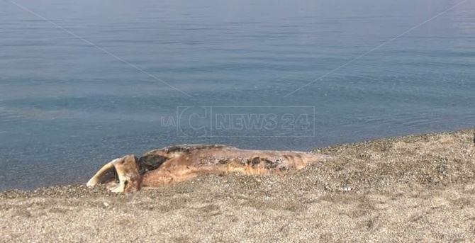 Il cetaceo spiaggiato a Bivona
