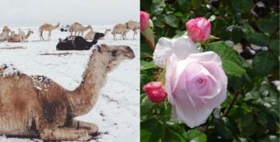 Neve nel deserto d'Arabia e giardini in fiore a Londra: il pazzo inverno 2020