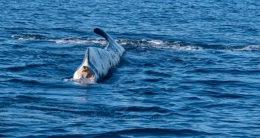 Codamozza, la balena avvistata a Brancaleone