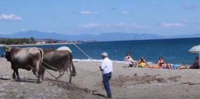 Buoi in spiaggi a Mandatoriccio