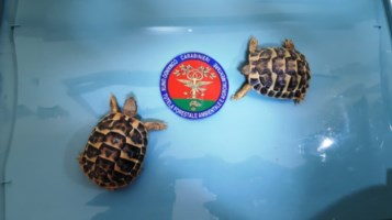 Due esemplari di tartaruga