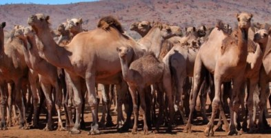 Roghi in Australia, 10mila cammelli verranno uccisi: «Bevono troppa acqua»