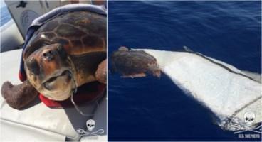 La tartaruga soccorsa alle Eolie
