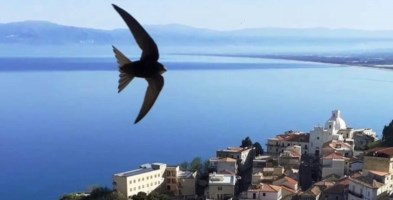 Una rondine in volo su Pizzo (foto di Giorgio Fanello)