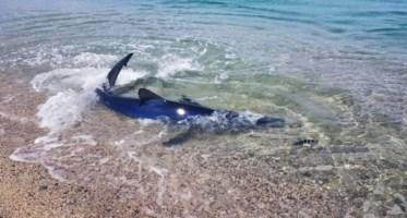 Lo squalo azzurro nello scatto pubblicato da Diving Megale