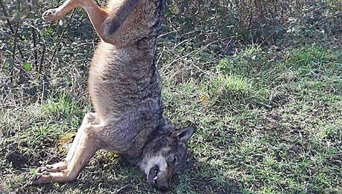 Lupo ucciso e appeso ad un cartello stradale nel Vibonese