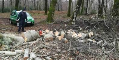Parco Aspromonte, beccato a tagliare  alberi di faggio: deferito un uomo