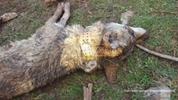 La morte del lupo Arvo: «Le cause del decesso sono ancora da chiarire»