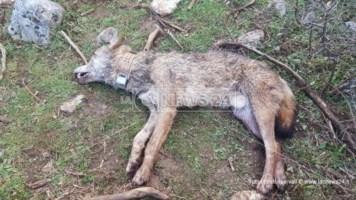 Il lupo Arvo ritrovato ucciso sul Pollino: era stato salvato e curato