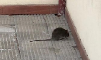 Un topo fuori alla scuola Alvaro di Palmi