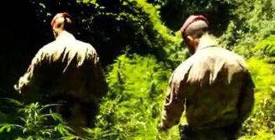 Droga, nuovo colpo ai trafficanti della Piana di Gioia Tauro: scoperte mille piante di cannabis a Cinquefrondi