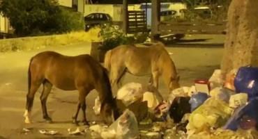 Cavalli tra i rifiuti a Reggio Calabria