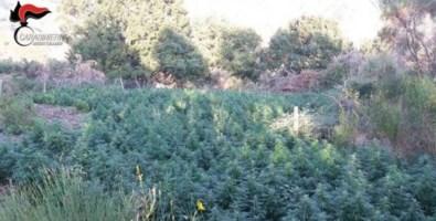 Le piante di canapa scoperte nella Locride