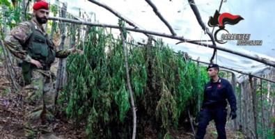 La cannabis sequestrata a Reggio