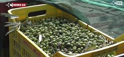 Olivicoltura, dalla Regione Calabria fondi per 910mila euro