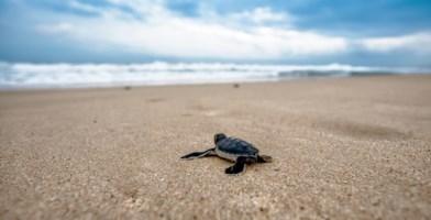 Cassano allo Jonio, nate 69 piccole tartarughe Caretta caretta