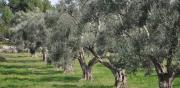 Cade da un albero raccogliendo olive nel Vibonese, è grave
