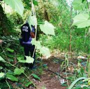Vibo Valentia, su un terreno demaniale scoperte 2000 piante di canapa indiana